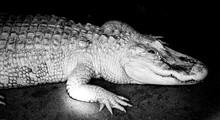 Alligator Albinos