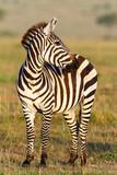 Fototapeta Sawanna - Zebra on the savannah looking sideways