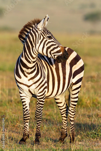 Tuinposter Zebra Zebra on the savannah looking sideways