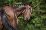 Fototapeta Horses - Portrait of funny bay horse looking back