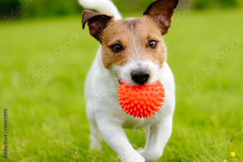Fotografie, Obraz  Close up of dog running and playing fetch with orange ball toy