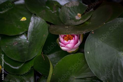 Zdjęcie XXL pączek lilii wodnej pod zielonymi liśćmi