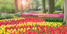 Colorful Tulips Landscape In B...