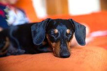 Cute Black Dachshund Dog Sleep...