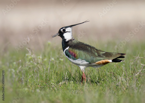 Northern lapwing on the grass