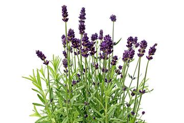 Lavendelbusch mit Blüte