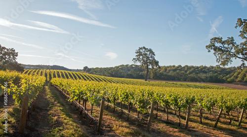 Fotografie, Obraz  California Valley Oak tree in vineyard at sunrise in Paso Robles vineyard in the