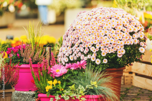 Colorful chrysanthemums in pots in flower shop