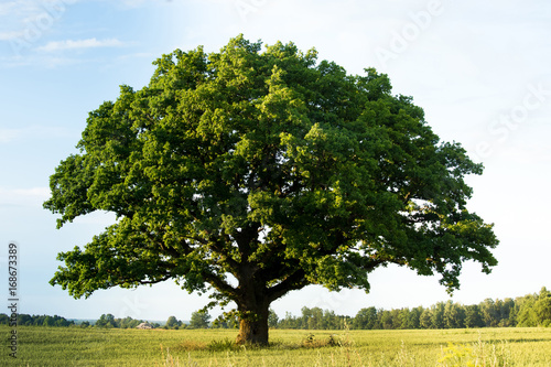 Fotografie, Obraz Lonely green oak tree in the field