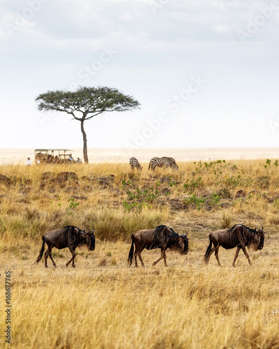 Safari Drive With Wildebeest and Zebra Wall mural
