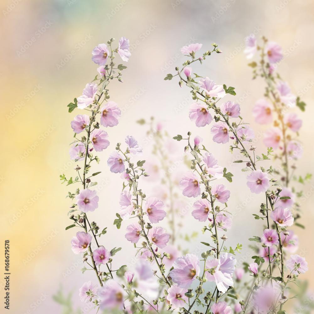 Fototapety, obrazy: Różowe kwiaty malwy