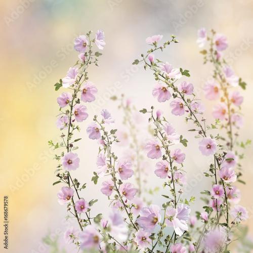 Obraz Różowe kwiaty malwy - fototapety do salonu