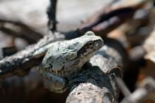 Japanese Tree Frog - Hyla Japo...
