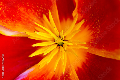 Fotobehang Pop Art Red, yellow and orange poppy flower in interior deco