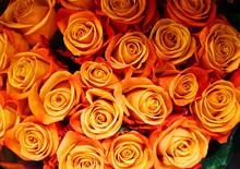 Close Up On Fresh Orange Rose