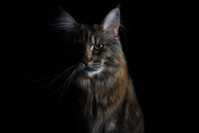 Close-up Of An Isolated Silver Tabby Maine Coon Cat On Black Background