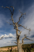 Dead Tree In The Desert, Grand Canyon