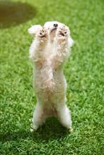 White Poodle Dog Dancing