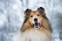 Portrait Of Rough Collie, Winter