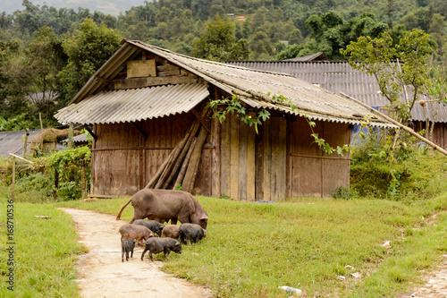 Poster Scandinavië Pigs in a village