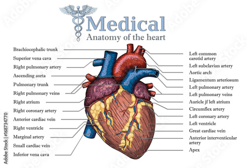 Anatomical Human Heart Hand Drawn Poster With Inscription Of Vein
