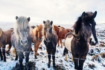Beautiful icelandic horses in winter, Iceland