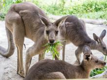 Group Of Kangaroos Feeding In ...