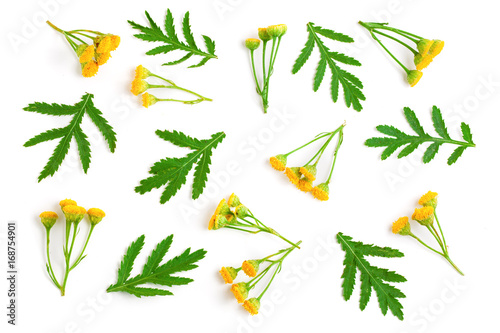 Photo  tansy with leaf isolated on a white background. Medical herb