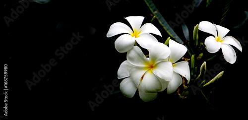 Foto op Canvas Frangipani High contrast Plumeria flowers on dark background