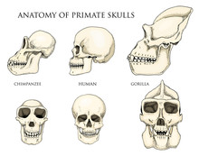 Human And Chimpanzee, Gorilla....