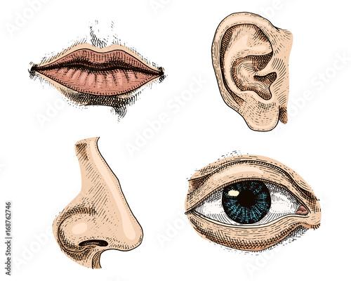 Human Biology Organs Anatomy Illustration Engraved Hand Drawn In