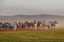 Mongolian White Wild Horses Ru...