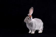 Gray Rabbit On A Black Background