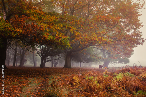 Poster Orange Seasonal encounters. Autumn in Richmond Park, with a deer appearing through the mist amid the full colors of autumn leaves on display.