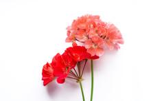 Pelargonium, Garden Geranium, ...