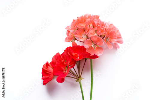 Pelargonium, garden geranium, zonal geranium Flowers on white (selective focus i Wallpaper Mural