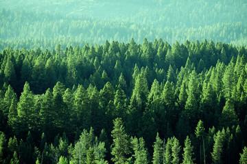 Fototapeta Las Forest in the Wilderness Mountain