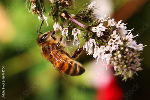 Photo Honey bee bees feeding on peppermint flower Apis mellifera honeybee