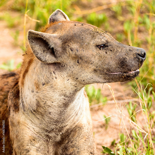In de dag Hyena CLose view of a hyena in the grass in the Moremi Game Reserve (Okavango River Delta), National Park, Botswana