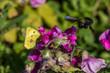 Holzbiene, Biene, Bee, Wood