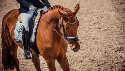 Dressage chestnut horse close up. Chestnut horse portrait during dressage competition. Advanced dressage test. Equestrian sport background