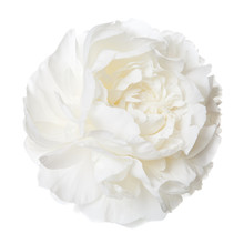 White Peony Isolated Flower.