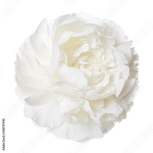 White peony isolated flower.