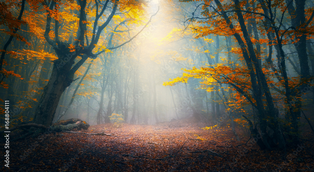 Fototapeta Fairy forest in fog. Fall woods. Enchanted autumn forest in fog in the morning. Old Tree. Landscape with trees, colorful orange and red foliage and blue fog. Nature background. Dark foggy forest