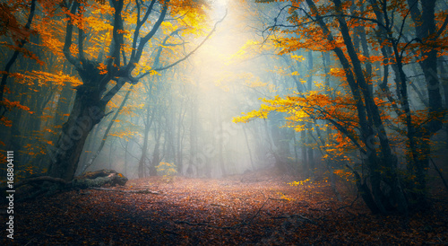 Foto op Plexiglas Bos Fairy forest in fog. Fall woods. Enchanted autumn forest in fog in the morning. Old Tree. Landscape with trees, colorful orange and red foliage and blue fog. Nature background. Dark foggy forest