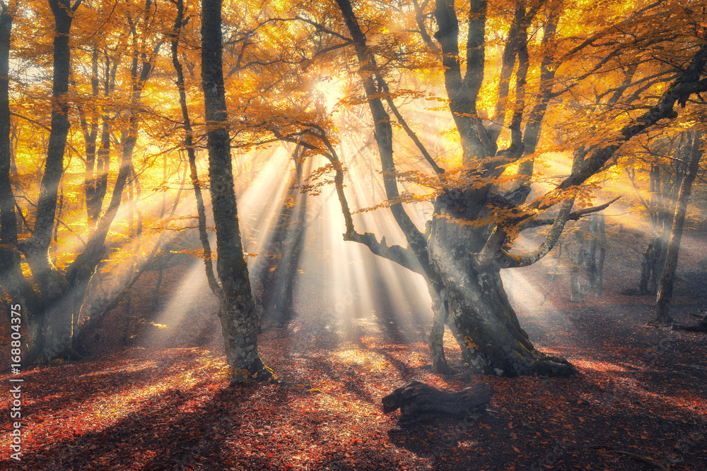 Magical old forest with sun rays in the morning. Amazing forest in fog. Colorful landscape with foggy forest, gold sunlight, orange foliage at sunrise. Fairy trees in autumn. Fall woods.Enchanted tree