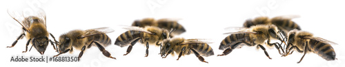 Poster Bee worker bees isolated on a white background