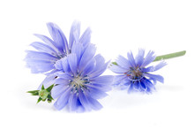 Chicory Flower With Leaf Isolated On White Background Macro