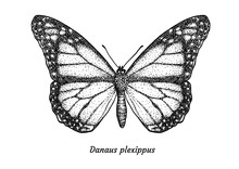 Monarch Butterfly Illustration...