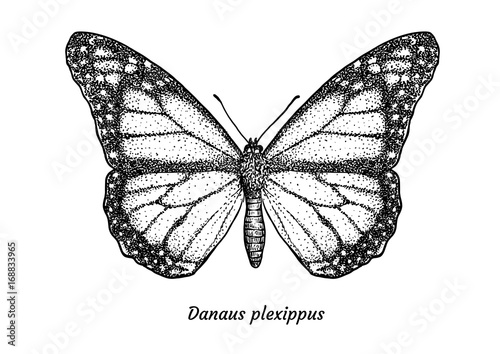 Fotografie, Obraz  Monarch butterfly illustration, drawing, engraving, ink, line art, vector